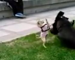 Fearless Chihuahua Puppy Faces Off With Great Dane (And My Heart Can't Take It!)