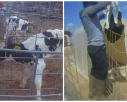 Video Released Of Baby Calves Being Brutalized At Popular Farm Tourist Attraction