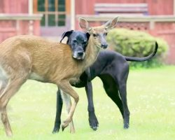 Deer Was Abandoned By Mother As A Fawn, Kind Great Dane Steps In As Her Guardian