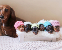 Wiener-Dog Family Proves Dog Maternity Photo Shoots Are The Best