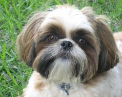 16 Reasons Shih Tzus Are Not The Friendly Dogs Everyone Says They Are