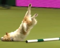 Jack Russell Makes Up His Own Routine At Agility Show- Wins Everyone Over