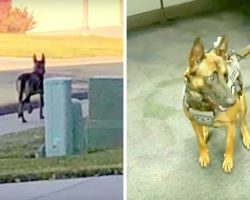 Her Paws Bled After She Was Discarded Like Trash, But Now She Sniffs Out Bombs