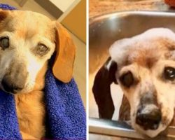18-yr-old blind Dachshund is thrown in a kill center, cries & prays to be saved