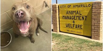 Owner Surrendered Pregnant Pit Bull, Then Shelter Euthanized Her While She Was In Labor