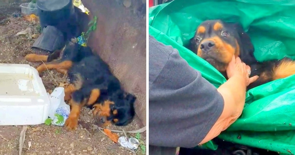 Paralyzed Rottweiler Dumped In Trash, Was Used For Breeding And Then Left To Die