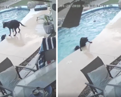 Smart Dog Sees Friend Struggling In The Pool, Takes Action To Save His Life