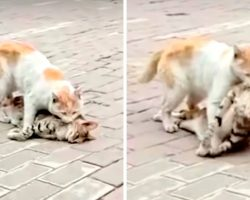 Stray Cat Tries To Revive Dead Friend, Drags Lifeless Body To A Shelter For Help