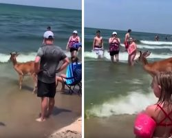 Deer Comes Out Of The Woods To Enjoy A Day At The Beach