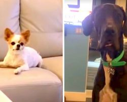 """Great Dane Feels Hurt & Cheated After Chihuahua Cops Out Of """"Treat-Sharing"""" Deal"""