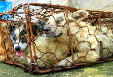 80+ Dogs Rescued From Dog Meat Trade, They Need Our Help To Avoid Being Put Down