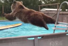 Grizzly Bear Belly Flops Into Pool, Then Turned For The Camera