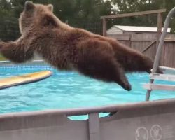 Grizzly Bear Belly Flops In The Pool And Turns For The Camera