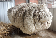 Hikers Spot A Neglected Sheep Struggling To Walk With A 90-Pound Wool Coat