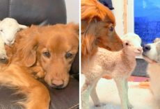 Weak Lamb Was Rejected By Mother & Left To Die, Finds Doting Parents In Two Dogs