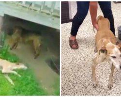 Cops Tell Good Samaritan They Can't Help Emaciated Dog In Back Yard