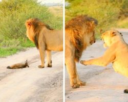Lioness Adopts An Injured Baby Fox, Saves Him From Being Eaten By Hungry Lion