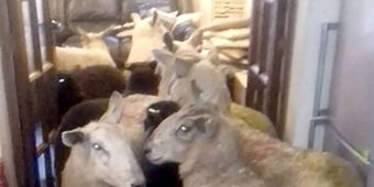 Overachieving Puppy Sneaks Herd of Sheep into Living Room