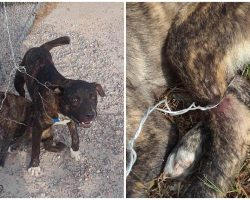 Petrified Puppies Yelp In Agony After Being Tied To Fence With Razor Sharp Wire