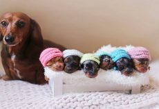 Sausage Dog And Her 6 Mini Sausages Pose For A Family Photoshoot