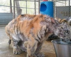 Abused circus tiger goes to sanctuary and ends up meeting her soul mate