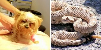 Rattlesnake Bites Tiny Yorkie In The Face, But Brave Dog Doesn't Give Up Just Yet