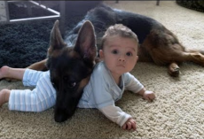 German Shepherds Protect Babies and Kids Compilation – The Best Protection Dogs