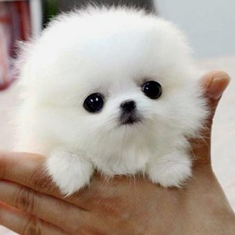The SMALLEST DOG BREEDS in the World