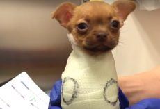 Puppy Abandoned At Birth Arrives At Adoption Day After Learning To Walk