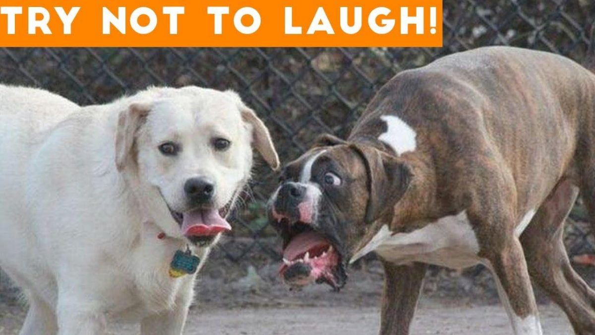 Get Ready To Laugh Out Loud Best Funny Dog Video Compilation