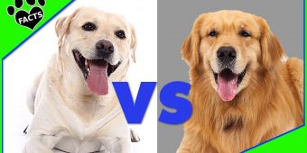 Golden Vs. Labrador – Differences Between Labrador Retriever and Golden Retriever