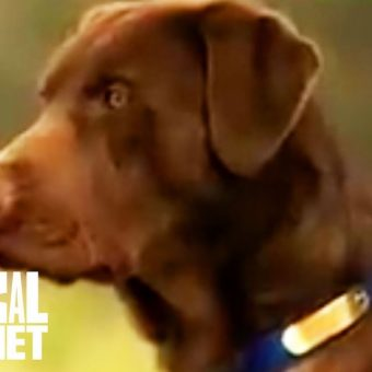 Is the Labrador Retriever right for you?