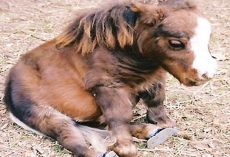 Mini Horse Named Thumbelina Is Stealing Hearts Everywhere She Goes