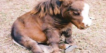 Mini Horse Named Thumbelina Is Stealing Hearts Everywhere She Goes