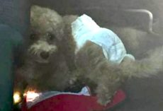 Dog Left In Hot Car Wearing A Diaper While Family Goes Sightseeing