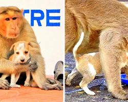 Monkey Adopts Stray Puppy And Protects It From Danger