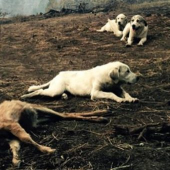 Man Sees Family Of Dogs Standing Guard Over Fawn Killed In Wildfire