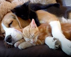 Beagle Gets Her Very Own Kittens & Immediately Becomes The Best 'Mother'