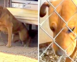 Dog Chained In Heat For 10-Years Cries Every Day, Owners Laugh In Rescuer's Face
