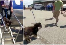 Dog Stepped Off Plane And Sees Her Humans Again After Being Lost For 2-Years