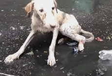 Dog Found Lying In Puddle Unable To Move As She Cried Out In Pouring Rain