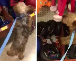 Puppy Mill Rescue Jumps On The Shelf While Picking Out Her First Toy