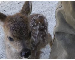 """Lonely Baby Deer Approached By Logger And Mistaked Him For Her """"Mama"""""""