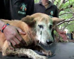 Rescuers Work To Save Dog With Porcupine Quill Piercing Her Eyelid