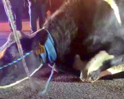 Pregnant Cow Desperate To Save Baby And Jumps Off Truck On The Way To Slaughterhouse