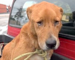 Senior Dog Abandoned By His Family Was Found Depressed On Street & Begging For Food