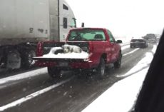 Dog Seen Covered In Snow In An Open Truck Bed Driving Down The Road