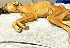 Dog Fights For Life After Shameless Owner Starves And Neglects Him For Months
