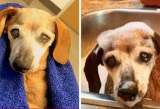 "18-Yr-Old Blind Dachshund Was Thrown In A ""Kill"" Center, Cried & Prayed To Be Saved"