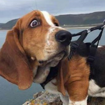 12 Hilarious Basset Hound Memes Will Make Your Day